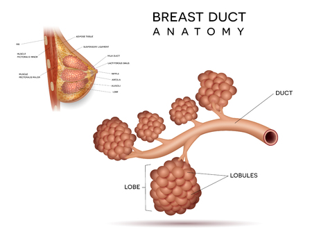 Healthy female breast duct anatomy detailed structure info diagram on a white background