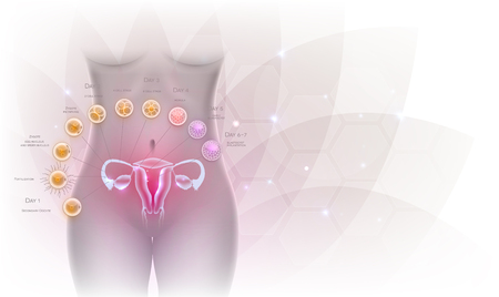 Female reproductive organs uterus and ovaries ovulation, fertilization by male sperm and cell development till blastocyst implantation. Beautiful artistic design, female silhouette and transparent flower at the background. 向量圖像