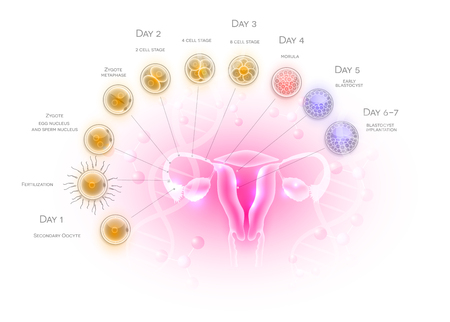 Female reproductive organs uterus and ovaries ovulation, fertilization by male sperm and cell development till blastocyst implantation. 版權商用圖片 - 117791486