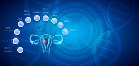 Female reproductive organs uterus and ovaries ovulation, fertilization by male sperm and cell development till blastocyst implantation. Illustration
