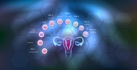 Owulacja macicy i jajników żeńskich narządów rodnych, zapłodnienie przez męski plemnik i rozwój komórek do implantacji blastocysty. Ilustracje wektorowe