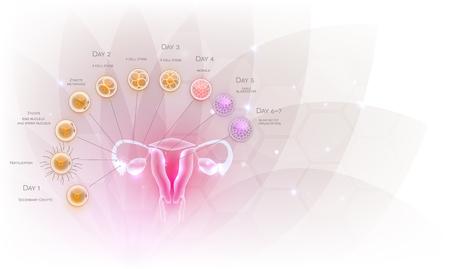 Weibliche Fortpflanzungsorgane Uterus und Eierstöcke Eisprung, Befruchtung durch männliche Spermien und Zellentwicklung bis zur Einnistung der Blastozyste. Schönes künstlerisches Design, transparente Blume im Hintergrund.
