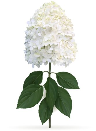 Hydrangea paniculata Limelight in late summer, high quality detailed illustration on a white background. This sort is winter hardy and change color from lime green to creamy white in late summer Иллюстрация