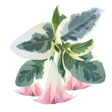 Brugmansia angel trumpet pink flower and variegated foliage isolated on a white background, high quality detailed illustration 版權商用圖片 - 131788858