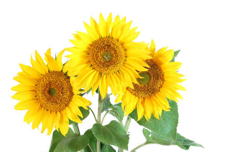 A Sunflower isolated on a white background. photo