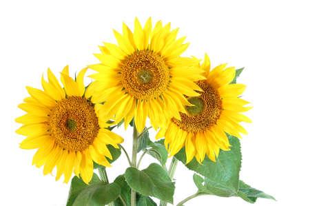 sunflower isolated: Un girasole isolato su uno sfondo bianco. Archivio Fotografico