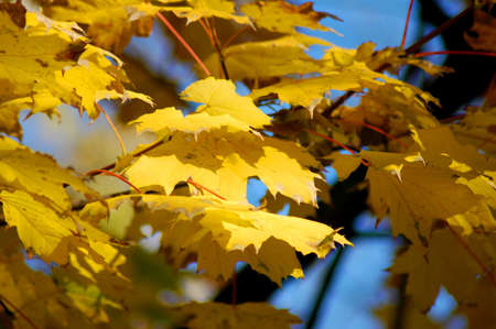 golden fall leave of a tree in a forrest on blue sky Stock Photo - 3670925