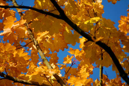 golden fall leave of a tree in a forrest on blue sky photo