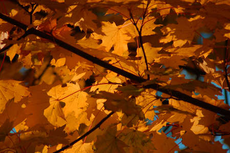 golden fall leave of a tree in a forrest on blue sky Stock Photo - 3675574