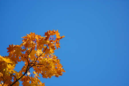 golden fall leave of a tree in a forrest on blue sky Stock Photo - 3689555