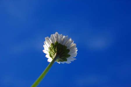 daisy from below under blue sky in summer photo