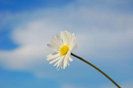 happieness: happy daisy flower under blue spring sky