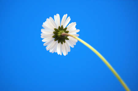 happy daisy under blue summer sky from below photo