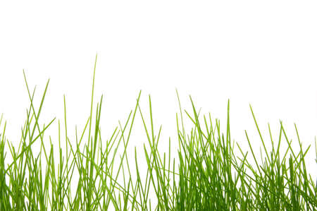 tall grass: green fresh  easter grass isolated on white background