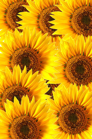 background with sunflower for happy summer or springtime Stock Photo - 4599324
