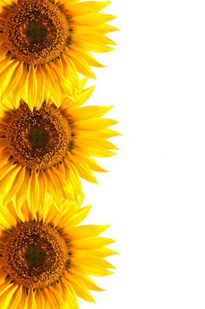 background with sunflower for happy summer or springtime photo