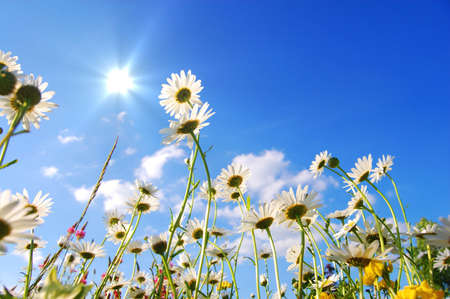 big daisy: flowers on meadow in summer from below and blue sky