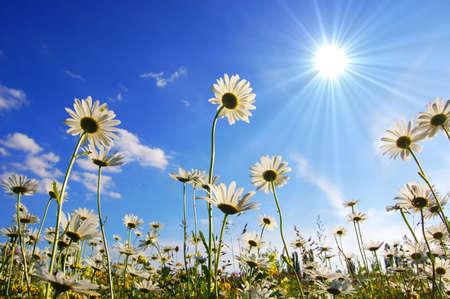 campo de margaritas: margaritas en flor de verano con el cielo azul Foto de archivo