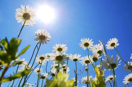 view from below: daisy flowers in summer under blue sky from below