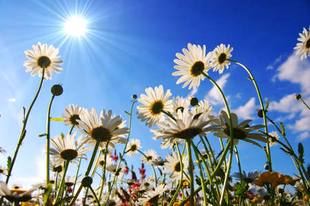 daisy flowers from below with blue sky on sunny summer day Stock Photo - 4987161
