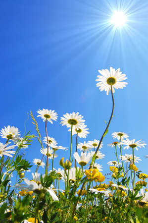 daisy flower in summer with blue sky Stock Photo - 4987251