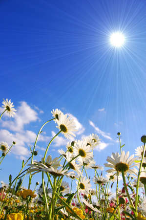 flowers on meadow in summer from below and blue sky Stock Photo - 5000597