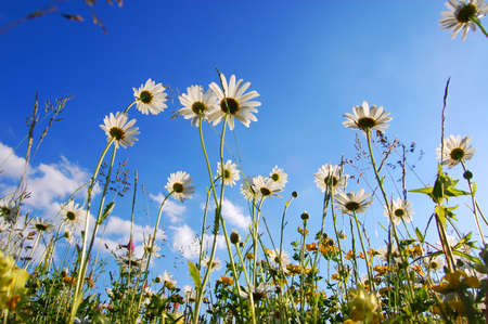 daisy flower from below with blue sky in summer photo
