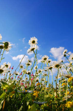 flowers on meadow in summer from below and blue sky Stock Photo - 5016307