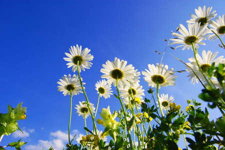 daisy flowers from below under blue sky in summer photo