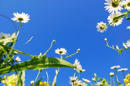 daisy flowers in summer under blue sky from below Stock Photo - 5036531