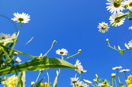 daisy flowers in summer under blue sky from below Stock Photo - 5036531
