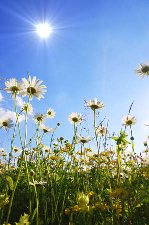 daisy flowers from below with blue sky on sunny summer day Stock Photo - 5051661