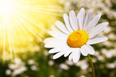 daisy flowers on a sunny summer field Stock Photo - 5051679