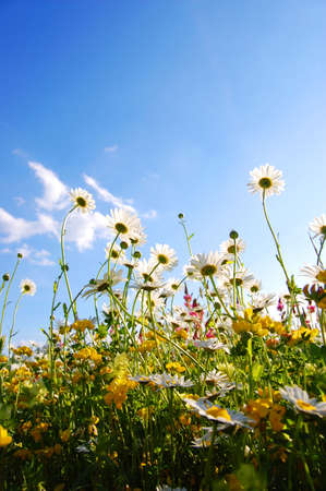 daisy flowers from below with blue sky on sunny summer day photo