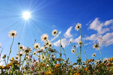 Daisy bloemen van onderen met blauwe hemel op zonnige zomerdag