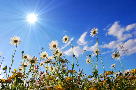 ниже: daisy flowers from below with blue sky on sunny summer day