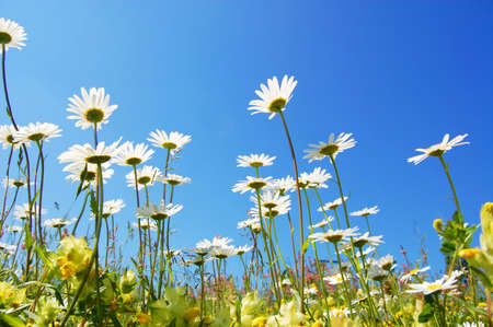 daisy flower in summer with blue sky Stock Photo - 5174530