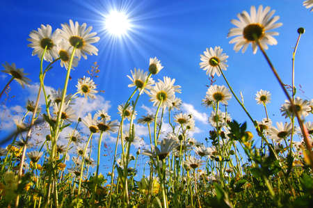 daisy flower from below with blue sky in summer Stock Photo - 5227759