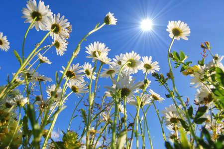 daisy flowers from below under blue sky in summer Stock Photo - 5227769
