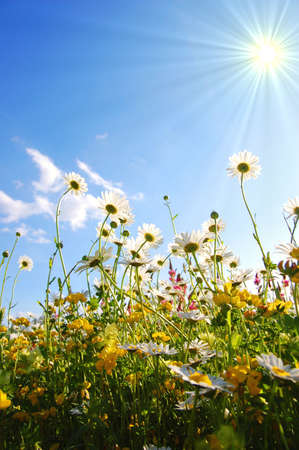 daisy flowers from below with blue sky on sunny summer day Stock Photo - 5295814