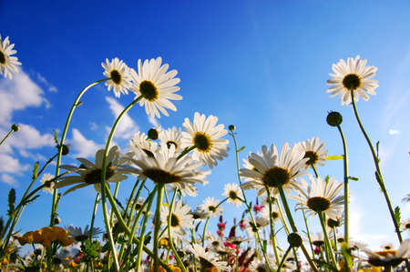 daisy flowers from below with blue sky on sunny summer day Stock Photo - 5343913