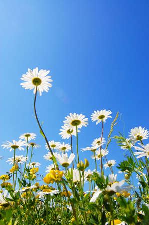 daisy flower in summer with blue sky Stock Photo - 5343949
