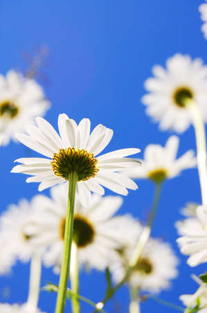 daisy flower in summer with blue sky photo
