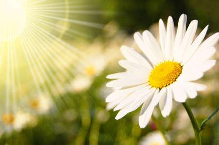 fleur et le soleil en été sur un champ