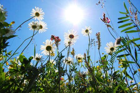 daisy flowers in summer under blue sky from below photo