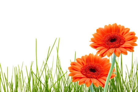 grass and gerbera daisy flower with copyspace for a text message photo