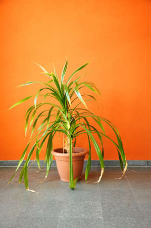 plant in pot on an orange wall with copyspace for a text message Stock Photo - 6651838