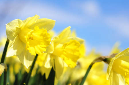 jonquil: yellow daff or jonquil flower in spring with copyspace showing summer concept