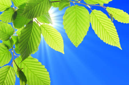 green summer leaves and blue sky with sun