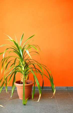 orange wall and pottet plant with copyspace showing real estate concept Stock Photo - 7287454